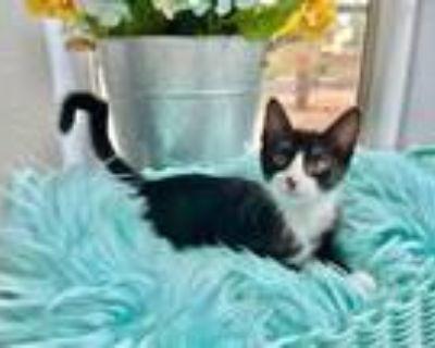 Adopt Tessa Rose a Black & White or Tuxedo Domestic Mediumhair / Mixed (medium