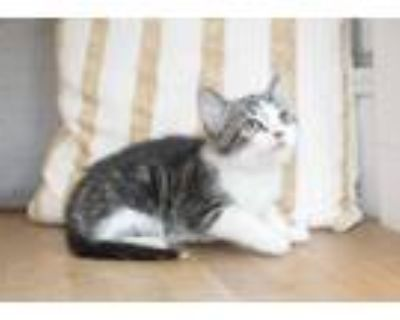 Adopt Icee a White (Mostly) Domestic Shorthair (short coat) cat in Dayton