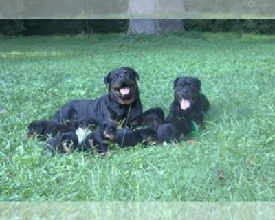 AKC REGISTERED ROTTWEILER PUPS FOR SALE BLOCKHEADS