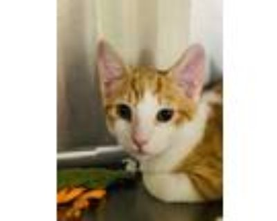 Adopt Leroy a Orange or Red (Mostly) Domestic Shorthair / Mixed (short coat) cat