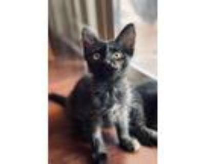 Adopt Junie a Tortoiseshell Domestic Mediumhair / Mixed (medium coat) cat in