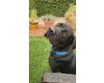 Adopt Heymay a Black Labrador Retriever / Great Dane / Mixed dog in Beverly