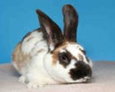 Adopt TOFFEE a White English Spot / Mixed rabbit in Alameda, CA (31978586)