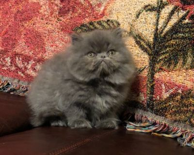 Persian kittens - 10 weeks old, healthy and loving