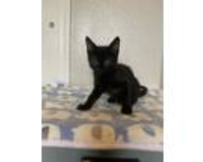 Adopt Becky's Kit a All Black Domestic Shorthair / Mixed cat in Los Lunas