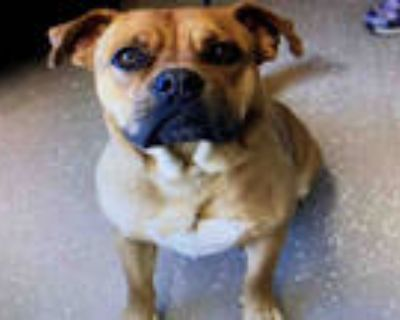 Adopt HENRY a Brown/Chocolate - with White Dogue de Bordeaux / American Pit Bull