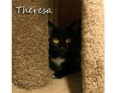 Adopt Theresa a American Shorthair