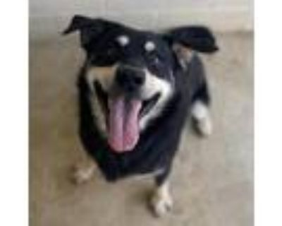 Adopt SQUIRRELY DAN a Black Border Collie / Shepherd (Unknown Type) / Mixed dog