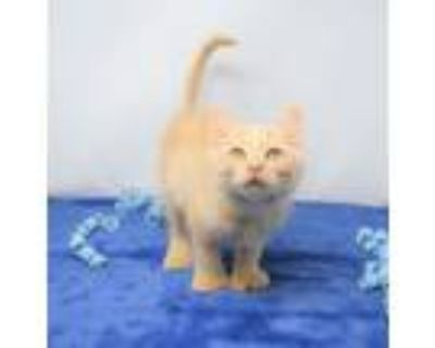 Adopt Duncan a Extra-Toes Cat / Hemingway Polydactyl