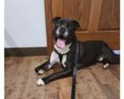 Adopt Rover a Black - with White Pit Bull Terrier / Mixed dog in Fairmont