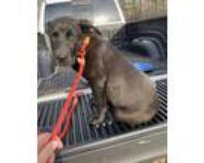 Adopt Acadia National Park a Labrador Retriever / Mixed dog in Alexandria