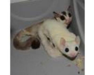 Adopt BERTITA a White Sugar Glider / Sugar Glider / Mixed small animal in