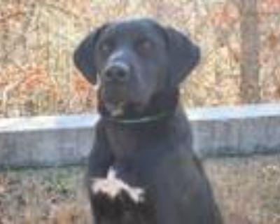 Adopt Colton a Black Labrador Retriever