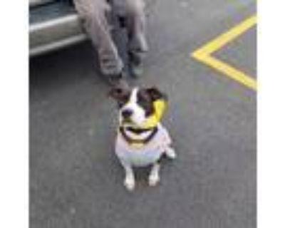 Adopt Attica a Black - with White Labrador Retriever / Boston Terrier / Mixed