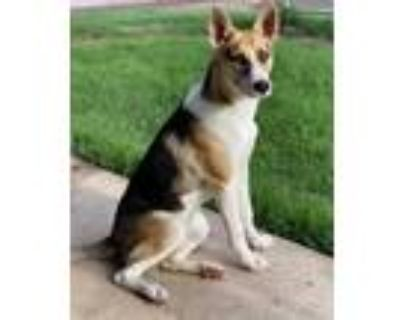 Adopt Kimi a Siberian Husky, German Shepherd Dog
