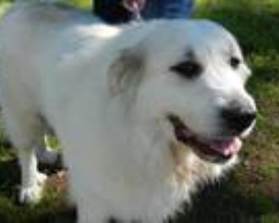 Adopt ROSALIE a White - with Tan, Yellow or Fawn Great Pyrenees / Mixed dog in