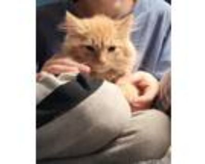 Adopt Peaches a Orange or Red Domestic Longhair / Mixed (long coat) cat in