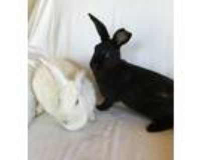 Adopt Tiffany and Chaylie a Bunny Rabbit