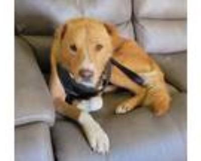 Adopt Bentley a Tan/Yellow/Fawn - with White Golden Retriever / Mixed dog in