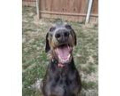 Adopt Thor a Gray/Blue/Silver/Salt & Pepper Doberman Pinscher / Mixed dog in