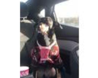 Adopt Taz a Tricolor (Tan/Brown & Black & White) Miniature Pinscher / Hound