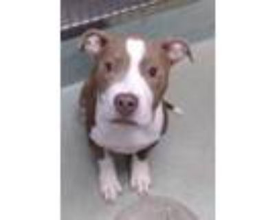 Adopt GORDON a Brown/Chocolate - with White American Pit Bull Terrier / Mixed