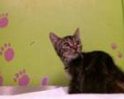 Adopt MANTIS a Brown Tabby Domestic Shorthair / Mixed (short coat) cat in
