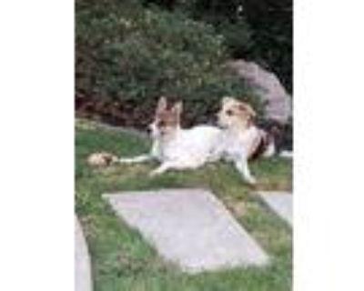 Janaa., Labrador Retriever For Adoption In Harbor City, California
