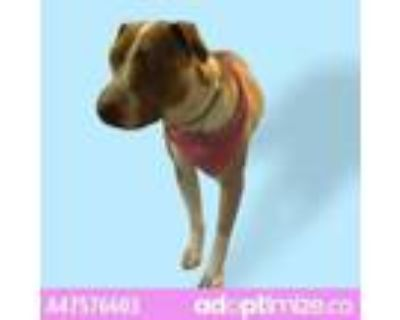 Adopt 47576603 a Pit Bull Terrier, Mixed Breed