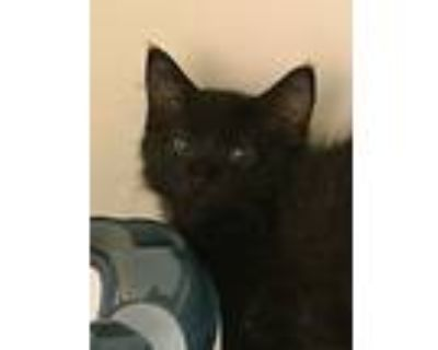 Jackson, Domestic Longhair For Adoption In Portsmouth, Virginia