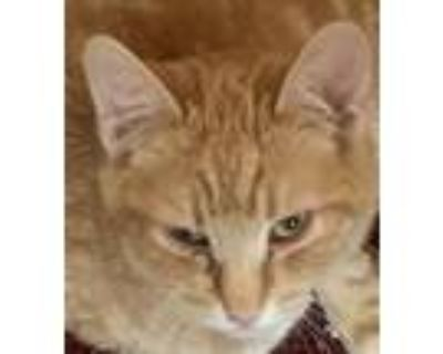 Adopt SPOTS a Orange or Red Domestic Shorthair / Mixed cat in Chico
