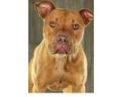 Adopt Carrot Top a Red/Golden/Orange/Chestnut American Pit Bull Terrier / Mixed