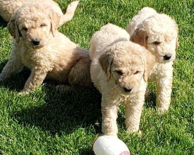 F1 Standard Goldendoodle Puppies