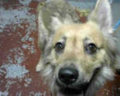 Adopt PATRICIA a Tan/Yellow/Fawn - with Black German Shepherd Dog / Mixed dog in