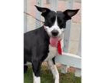 Adopt Edna a Black - with White Staffordshire Bull Terrier / Terrier (Unknown