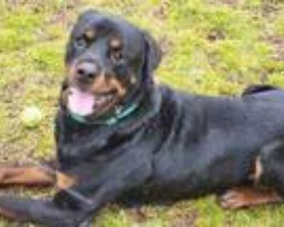 Adopt Titan a Black Rottweiler / Mixed dog in Newport News, VA (30528891)
