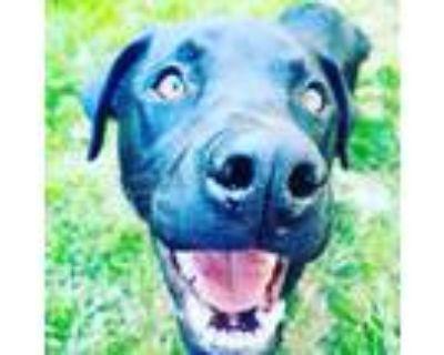 Adopt Boomer a Labrador Retriever, Rottweiler