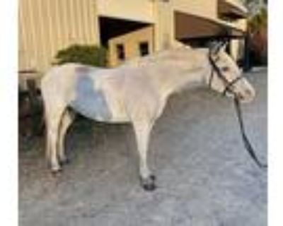SOLDFancy Medium Pony Prospect