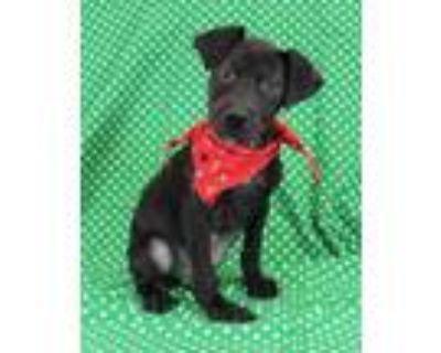 Adopt Newt a Black Boxer / Mixed dog in Morton Grove, IL (31959223)