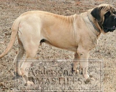 English Mastiff - Princess Buttercup