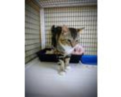 Adopt JARVIS a Domestic Short Hair