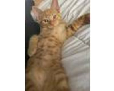Booger, Domestic Shorthair For Adoption In Los Angeles, California