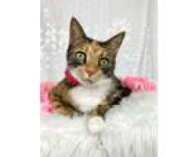 Adopt Willow a Calico or Dilute Calico Calico (short coat) cat in Smyrna