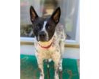 Adopt Spotty a Black - with White Australian Cattle Dog / Mixed dog in Derwood