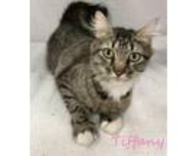 Adopt Tiffany a Domestic Medium Hair, Domestic Short Hair