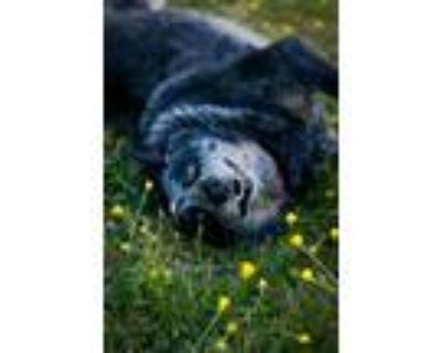 Adopt Funner a Gray/Blue/Silver/Salt & Pepper Australian Cattle Dog / Mixed dog