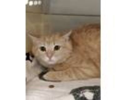 Adopt BURNIE a Orange or Red Domestic Shorthair / Mixed (short coat) cat in