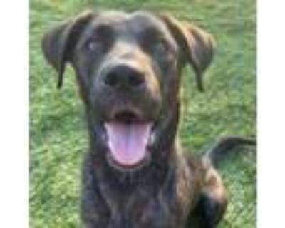 Adopt Riley a Labrador Retriever, Mixed Breed