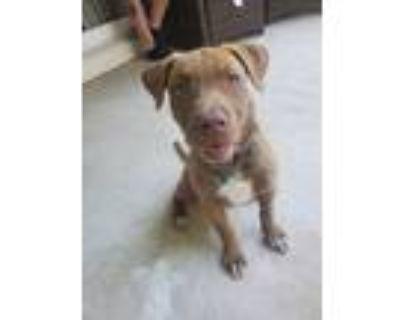 Adopt LE a Red/Golden/Orange/Chestnut Blue Heeler / Pit Bull Terrier dog in