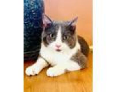 Adopt Rayovac a Gray or Blue Domestic Shorthair / Domestic Shorthair / Mixed cat